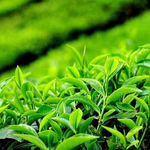 چای لاهیجان ( با برندهای مختلف )